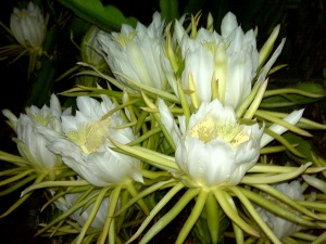 It's Summer and Punahou's Night Blooming Cereus are Blooming!