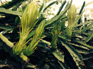 June 2014 Cereus