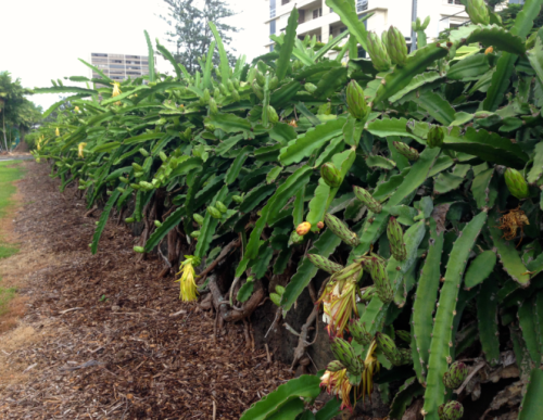 Found on Friday: Punahou Night-BLOOMing Cereus