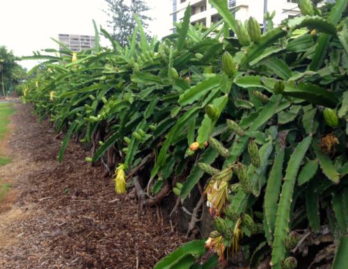 Punahou Night Blooming Cereus 1