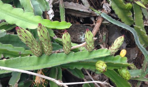 Punahou Night Blooming Cereus 2